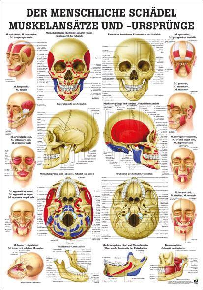 Lehrtafel - Schädel mit Muskelansätzen