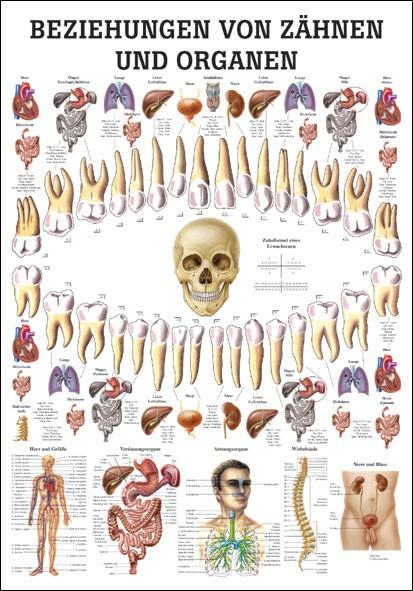 Lehrtafel - Beziehung von Organen und Zähnen