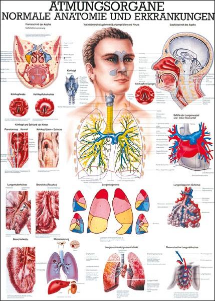 Lehrtafel - Atmungsorgane